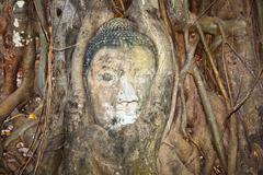 Buddhas head in mahathat temple in ajutthaya is covered by roots of a tree Stock Photos