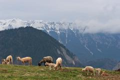 Sheep to pasture Stock Photos