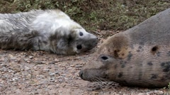 Grey Seal Cow and Pup. Close up of Heads. Stock Footage