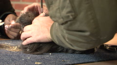 Guinea pig petting Stock Footage