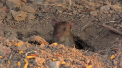 Big gray rat in their burrows Stock Footage