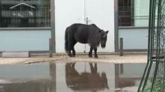 Pony, shetland, horse Stock Footage