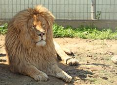 Stock Photo of Male Lion lying in the zoo
