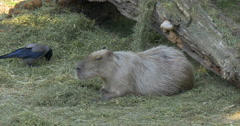 The capybara (Hydrochoerus hydrochaeris) is the largest rodent in the world, 4K Stock Footage