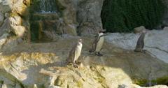 The Humboldt penguin (Spheniscus humboldti) , Vienna zoo, 4K Stock Footage
