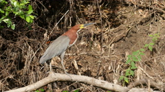 Rufescent tiger heron, 4k Stock Footage