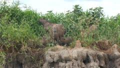 Capybaras suckling, 4k Stock Footage