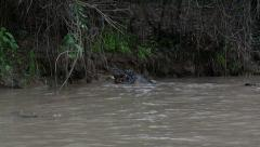 Caiman swallowing fish, slowmo Stock Footage