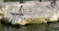 The Humboldt penguin (Spheniscus humboldti) , Vienna zoo, 4K Stock Footage