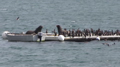 Sea Lions on Bait Barge Stock Footage