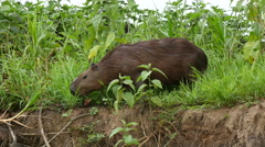 Capybara grazing, 4k - stock footage