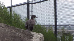Galapagos Cormorant Stock Footage