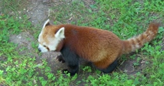 The red panda (Ailurus fulgens), also called red cat-bear, 4K Stock Footage