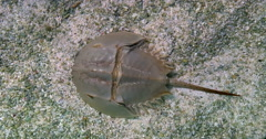 Atlantic horseshoe crab legs sand underwater under water Limulus polyphemus Stock Footage