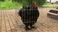 Black rooster crows Stock Footage