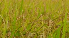 Golden paddy rice farm Stock Footage