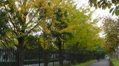 Stock Video Footage of beautiful Ginkgo along the lenght of the street
