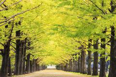 Beautiful ginkgo along the lenght of the street Stock Photos