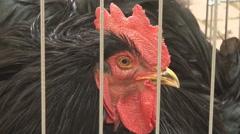 Black cock Stock Footage