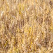 Corn field with spica in detail Stock Photos