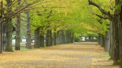 Beautiful Ginkgo along the lenght of the street Stock Footage