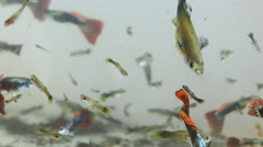 Guppy fish Stock Footage