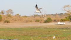 Grey headed gull flying slow moiton Stock Footage