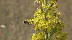 Carpathians, bee on yellow flower meadows - stock footage