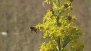 Stock Video Footage of Carpathians, bee on yellow flower meadows
