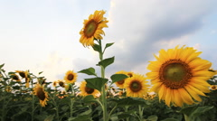 Sunflower field with windy and cloudy Stock Footage
