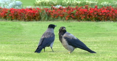 Stock Video Footage of Couple of hooded crows (corvus cornix) sitting on the grass, 4K