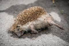 Dead porcupine on the road Stock Photos