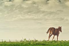 Beautiful chestnut brown horse running Stock Photos