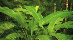 Banana trees in the jungle in thailand, asia Stock Footage