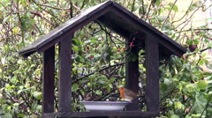 British robin and sparrow at a garden water bowl on bird feeder Stock Footage