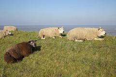 Texel lamb Stock Photos