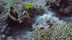 Clownfish and anemone on a tropical coral reef Stock Footage