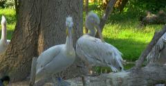 The Dalmatian pelican (Pelecanus crispus), Vienna zoo, 4K Stock Footage