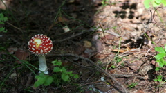 amanita muscaria. mushroom in the forest - stock footage