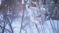 Asclepias syriaca winter Stock Footage