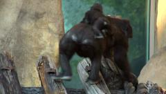 A gorilla female, carrying her baby on her back. Arkistovideo