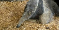 Giant anteater Myrmecophaga tridactyla close up Vienna zoo termite eater ant Stock Footage
