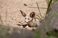 Desert fox fennec fox (vulpes zerda) Kuvituskuvat