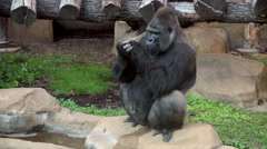 Full length portrait of a gorilla male, sitting on rock. Stock Footage