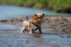 shiba inu dog shaking water - stock photo