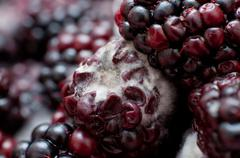 macro photo of four mouldy blackberries covered in white fungus and decaying - stock photo