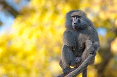 Portrait fo african baboon monkey Stock Photos