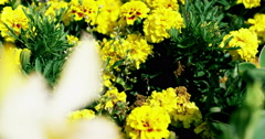 Yellow flower in front of a flowerfield 4K Stock Footage