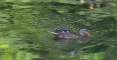 The mallard or wild duck (Anas platyrhynchos) is a dabbling duck, Vienna zoo, 4K - stock footage