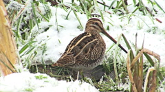 Common Snipe finding and hunting worms in winter snow pond, Gallinago gallinago Stock Footage